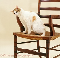 Calico cat rubbing against a chair
