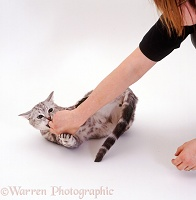 Silver tabby cat biting a person's hand
