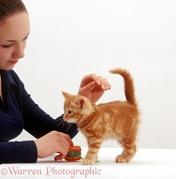 Owner stroking a ginger kitten