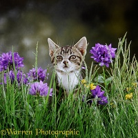 Tabby kitten sniffing scent of another cat on the grass