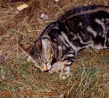 Tabby Shorthair cat playing with mouse prey