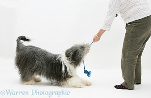 Bearded Collie bitch playing yug with owner