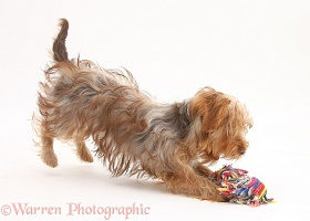 Yorkie x Poodle pup playing with a ragger toy