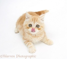 Ginger kitten lying with head up and tongue out