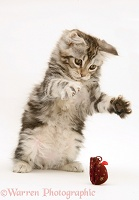Tabby Maine Coon kitten playing with a toy mouse
