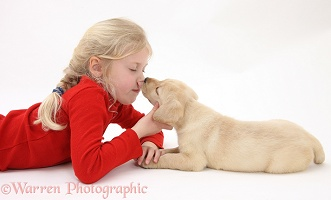 Yellow Labrador Retriever puppy licking child