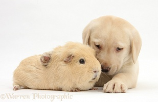 Yellow Labrador pup and yellow Guinea pig