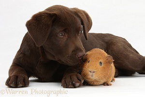 Chocolate Labrador pup and Guinea pig