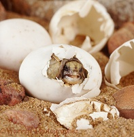 Spur-thighed Tortoise hatching from its egg