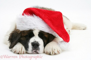 Saint Bernard puppy asleep with Santa hat on