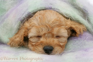 Golden Cockapoo pup, 6 weeks old, asleep under a scarf