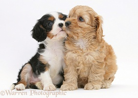 Cockapoo pup with a King Charles pup