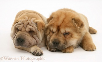 Sleepy Shar-pei pups