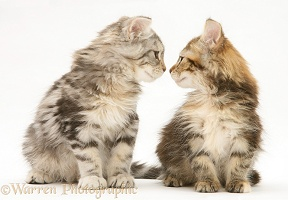 Tabby Maine Coon kittens nose-to-nose