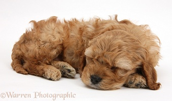 Sleepy golden Cockapoo pup