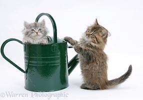 Maine Coon kittens playing with a watering can