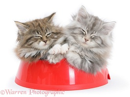 Maine Coon kittens, in a food bowl