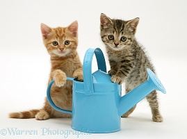 Kittens playing with a toy watering can