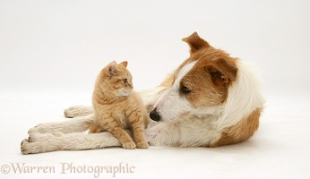 Lurcher and cream kitten
