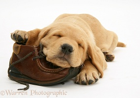 Retriever pup asleep on a child's shoe
