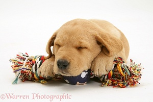Retriever pup asleep on a ragger toy