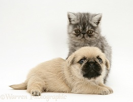 Exotic kitten and Pugzu (Pug x Shih-Tzu) pup
