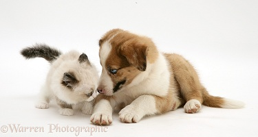 Border Collie puppy and Birman-cross kitten
