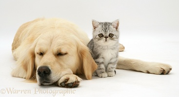 Silver tabby Exotic kitten and sleepy Golden Retriever