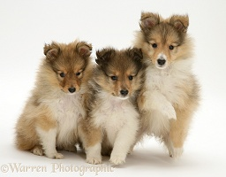 Sable Shetland Sheepdog (Sheltie) pups