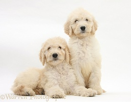 Labradoodle pups, 9 weeks old
