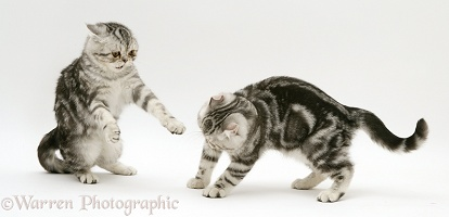 Silver Exotic cats play-fighting