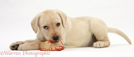 Yellow Labrador pup chewing a rawhide shoe