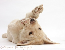 Yellow Labrador pup rolling on her back