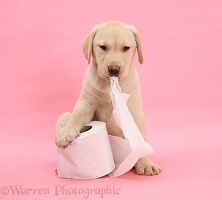 Yellow Labrador Retriever pup with toilet roll