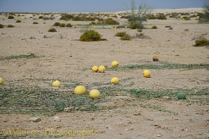 Wild melons in the Namib desert