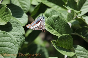 Foxy Charaxes Butterfly