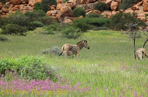 Plains zebra and foal, Spitzkoppe