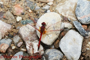Red-veined Dropwing Dragonfly