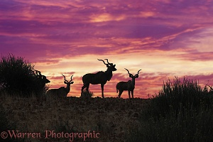 Greater Kudu at sunset