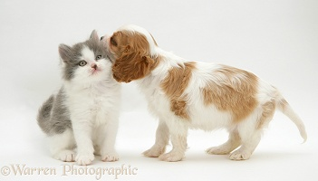 King Charles pup meets a kitten