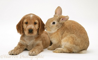 Golden Cocker Spaniel puppy and rabbit