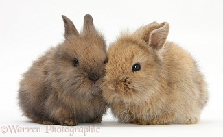 Two baby Lionhead-cross rabbits