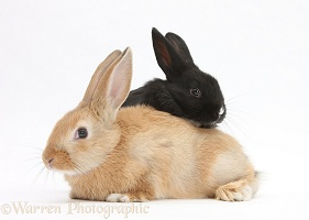 Young black and sandy rabbits