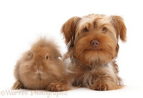 Yorkie x Poodle pup with Sandy Lionhead rabbit