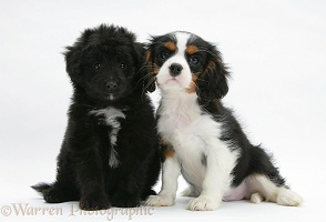 Sheltie x Poodle pup and Cavalier King Charles pup