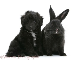 Black Sheltie x Poodle pup with black rabbit