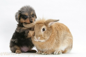 Sheltie x Poodle pup with Lop rabbit