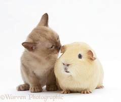 Burmese kitten, 7 weeks old, and guinea pig