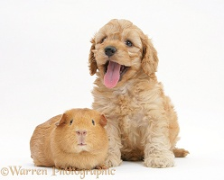 Golden Cockapoo pup, 6 weeks old, with red Guinea pig