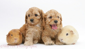 Golden Cockapoo pups with a Guinea pigs